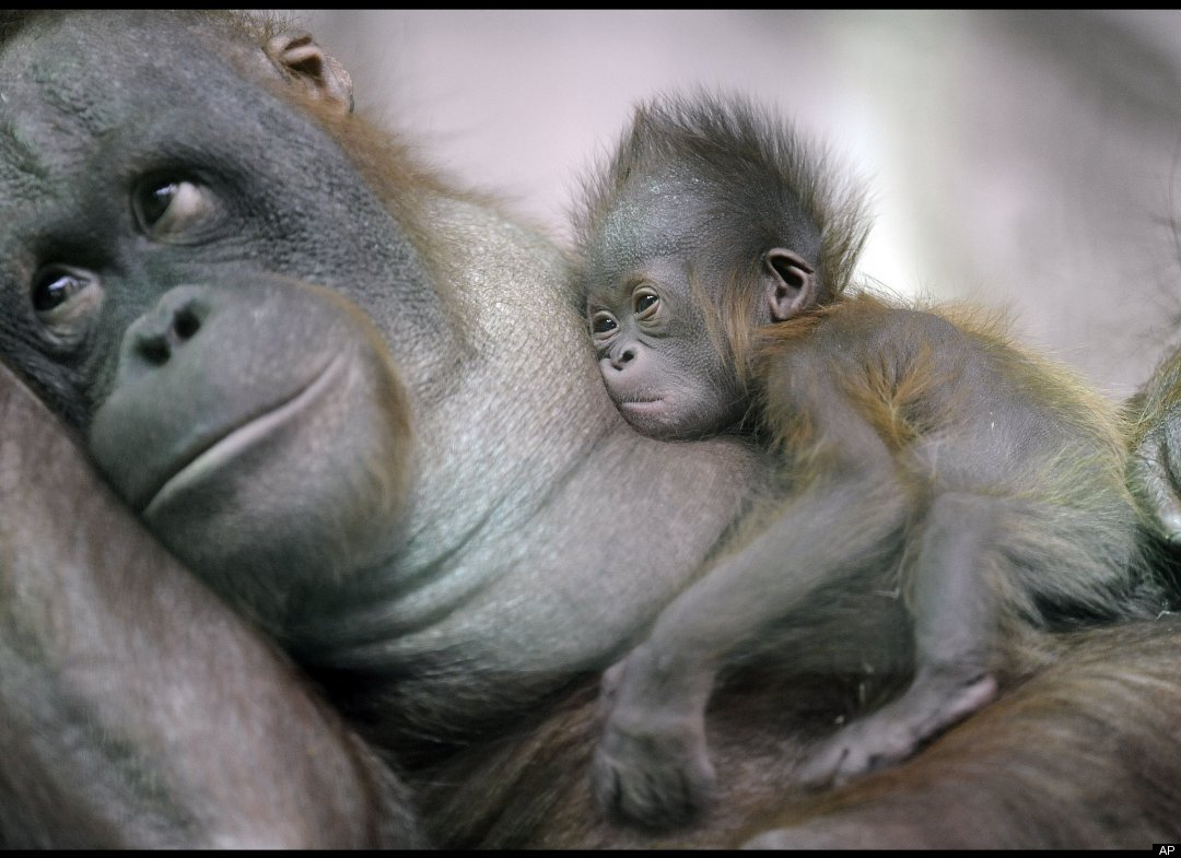 slide 11882 158284 huge A newly born orangutan baby rests on its mother is the new attraction for ...