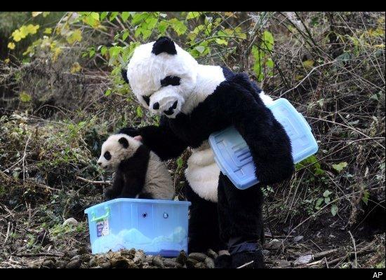 Papa Panda Takes Panda Cub Home Into The Wild Generasian