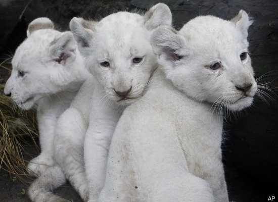 Baby White Lion Cub Triplets Born In Argentina (PHOTOS/VIDEO)