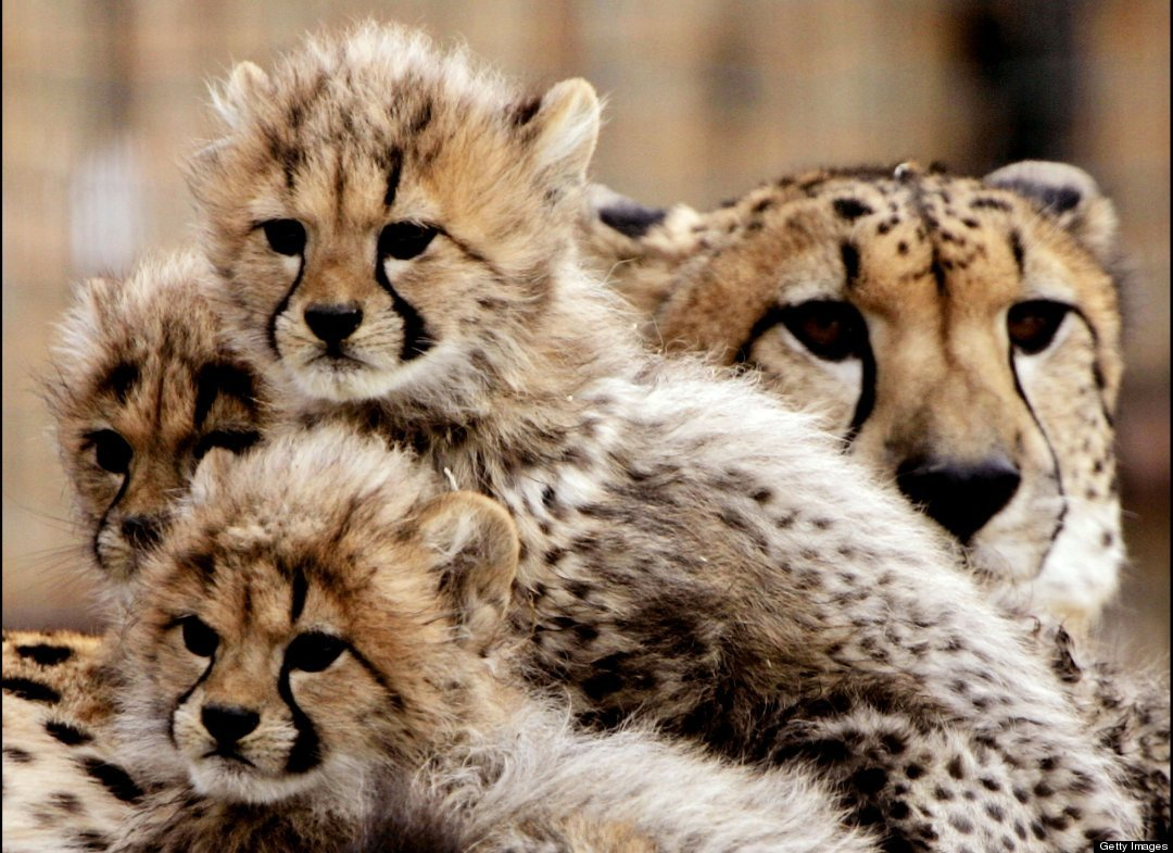 Cute cheetah cubs