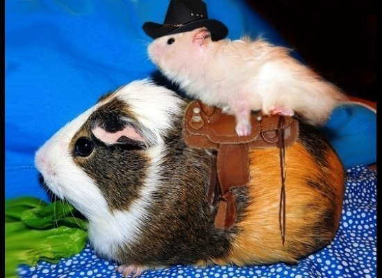 Cowboy Hamster/Guinea Pig Horse Costumes