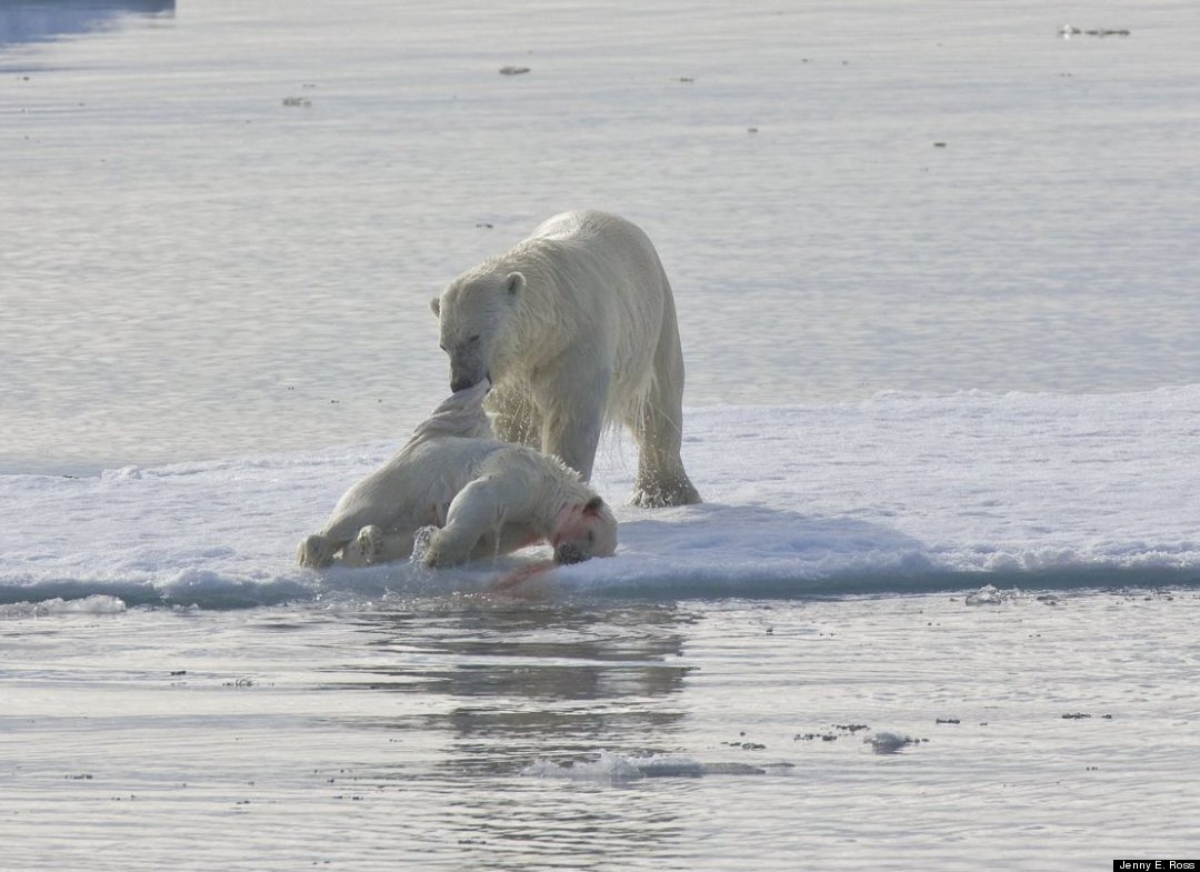 global warming polar bears The polar bear, also known as the white bear, northern bear, sea bear, or nanuq in some inuit languages, is a species of bear that is native to the arctic and the apex predator within its.