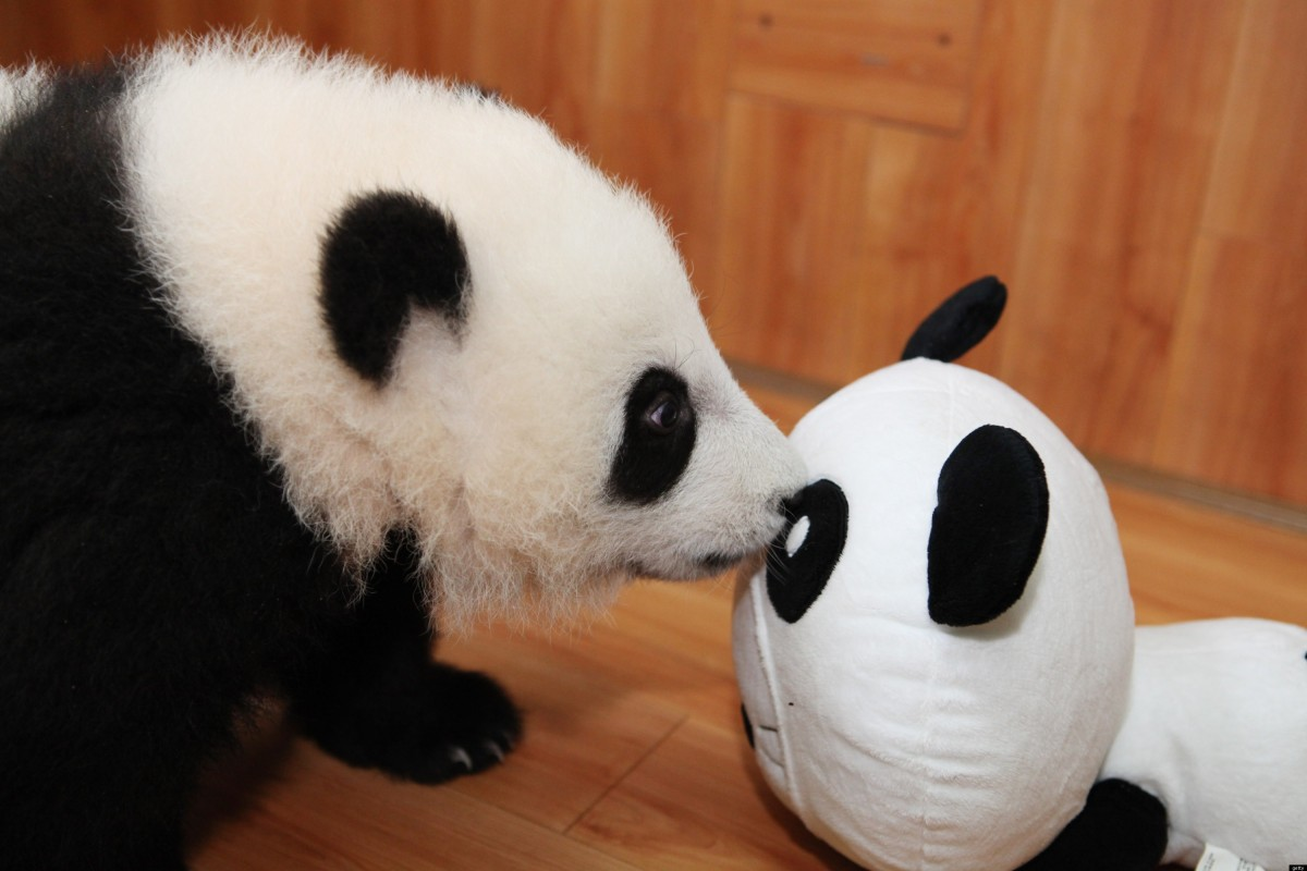 Baby Pandas Play With Plush Panda Toy Photos Huffpost