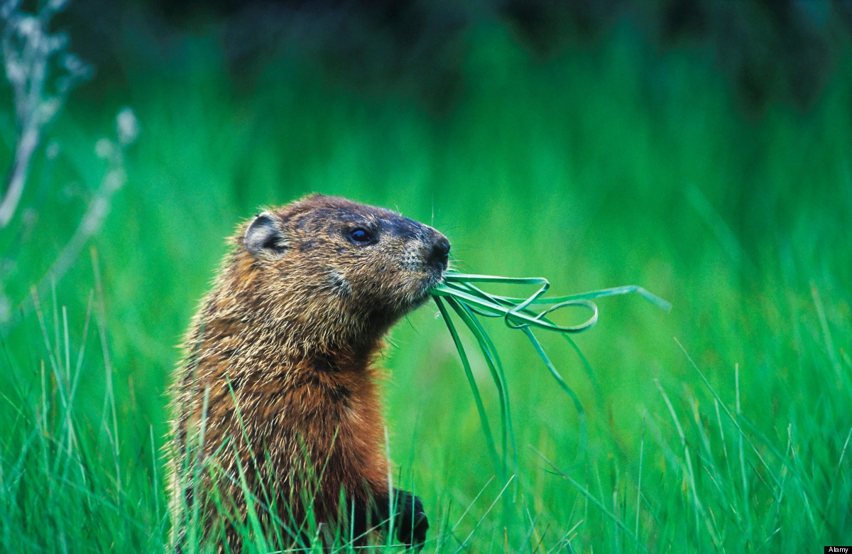 Groundhog Day 2012: 10 Facts About The Day, The Animal And