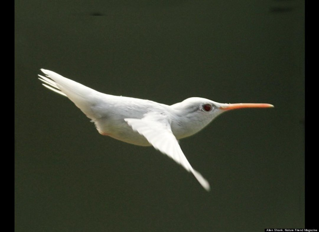 Albino Hummingbird Photos Captured In Virginia