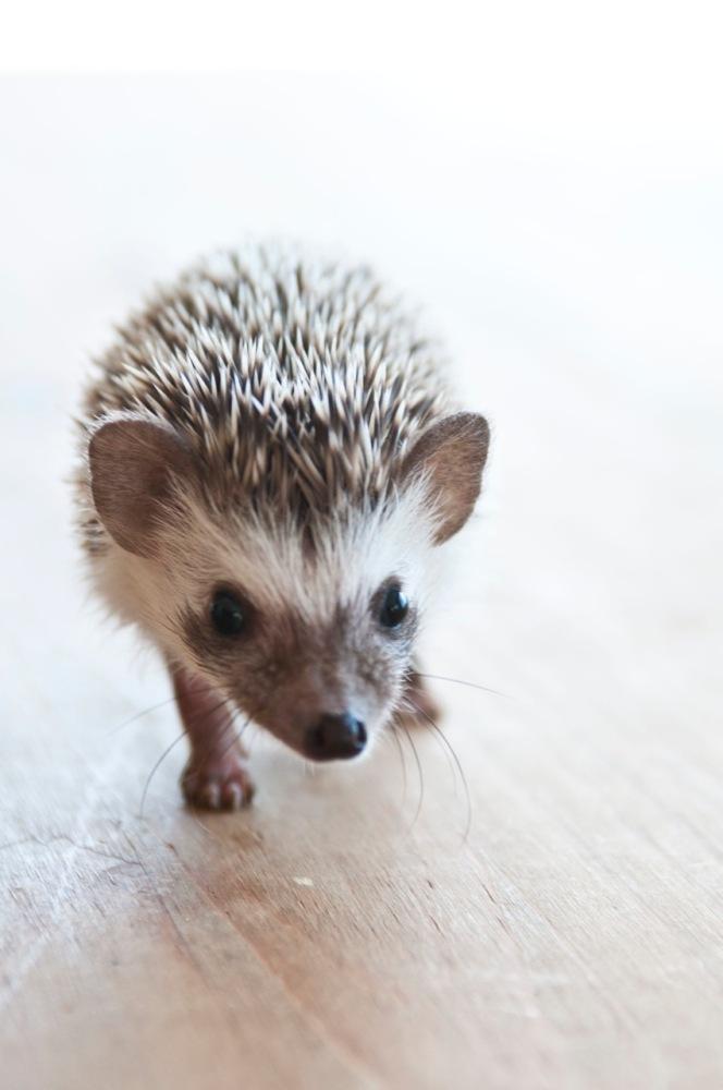 Adorable Baby Hedgehogs (PHOTOS) | HuffPost