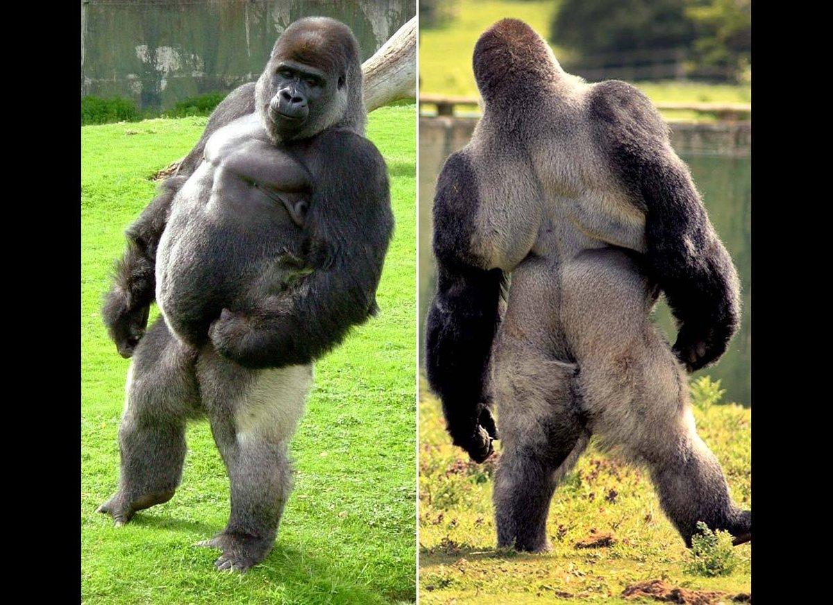 Gorilla penis sexy scene