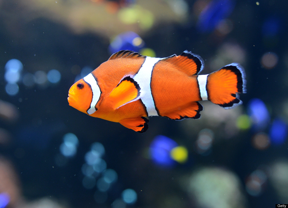 Beautiful animals page 641 for Clown fish nemo