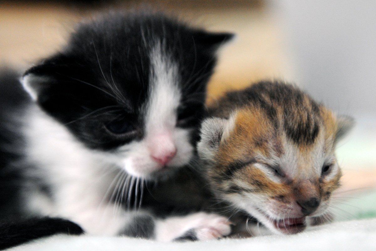 Polydactyl Cats: The Felines With Extra Toes | HuffPost