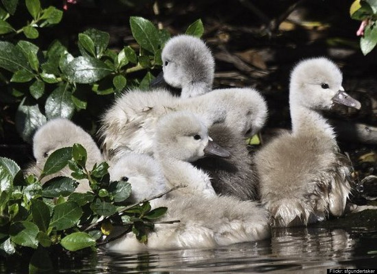 Baby Swans In Lagoon: Palace Of Fine Arts Announces New ...