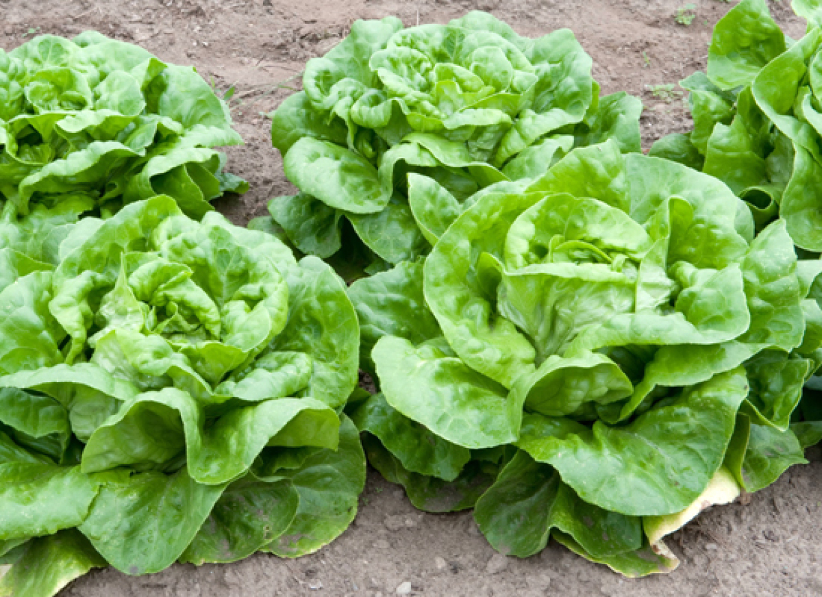 Lettuce Varieties: A Guide To What's What | HuffPost