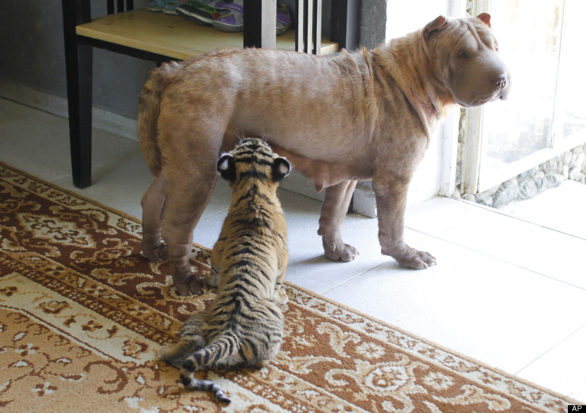 Siberian Tiger Cub, Puppy And Cat All Play Together ...