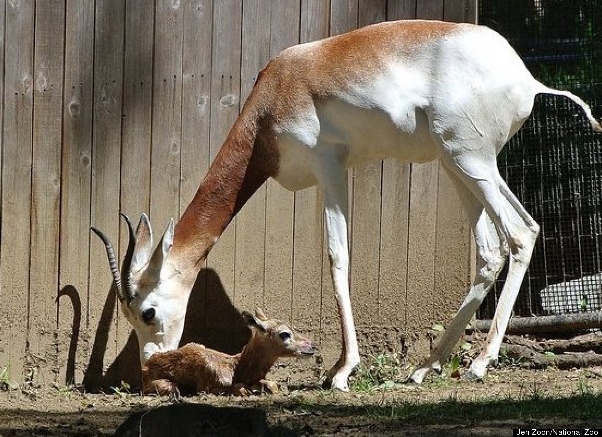 Rare baby dama gazelle born at national zoo dies 13 days for Gazelle cuisine n 13