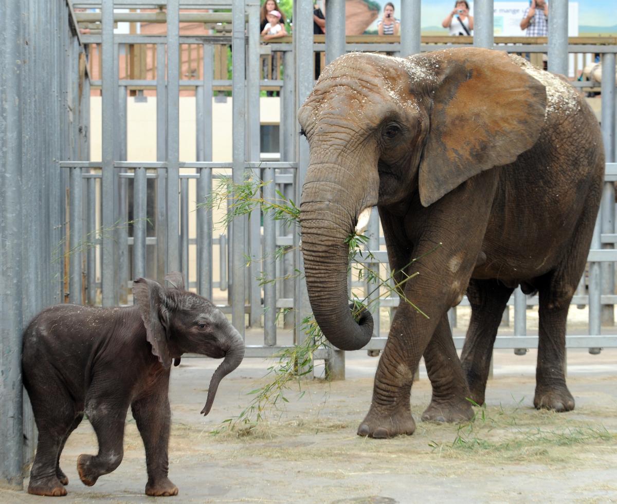 naissance de Rungwe petit éléphanteau, au Zoo de Beauval (loir et cher) dans RARE slide_243221_1340245_free