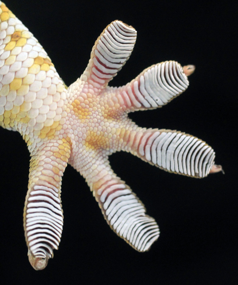 How Do Geckos Feet Work Photos Huffpost