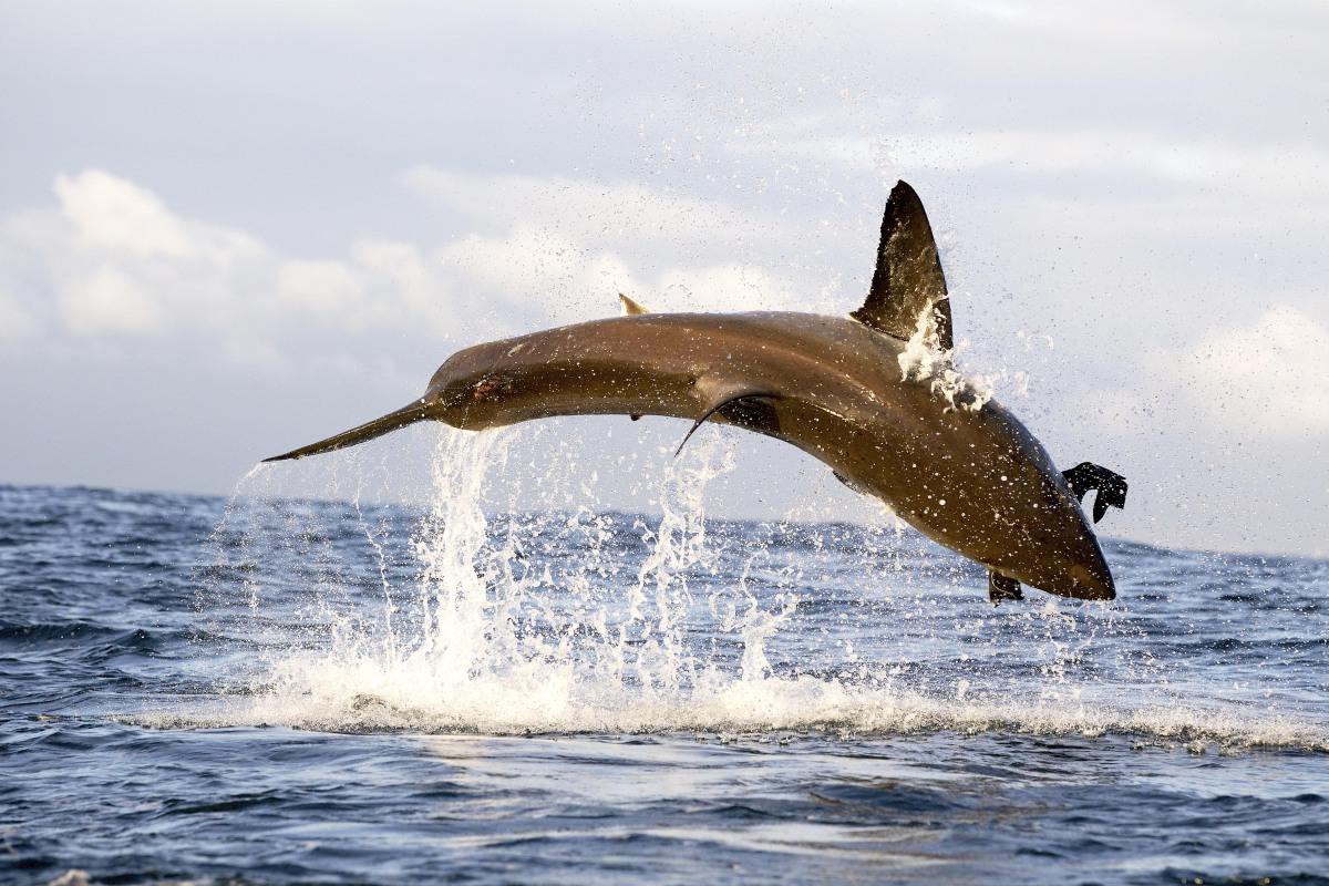Great White Sharks Eating Other Sharks