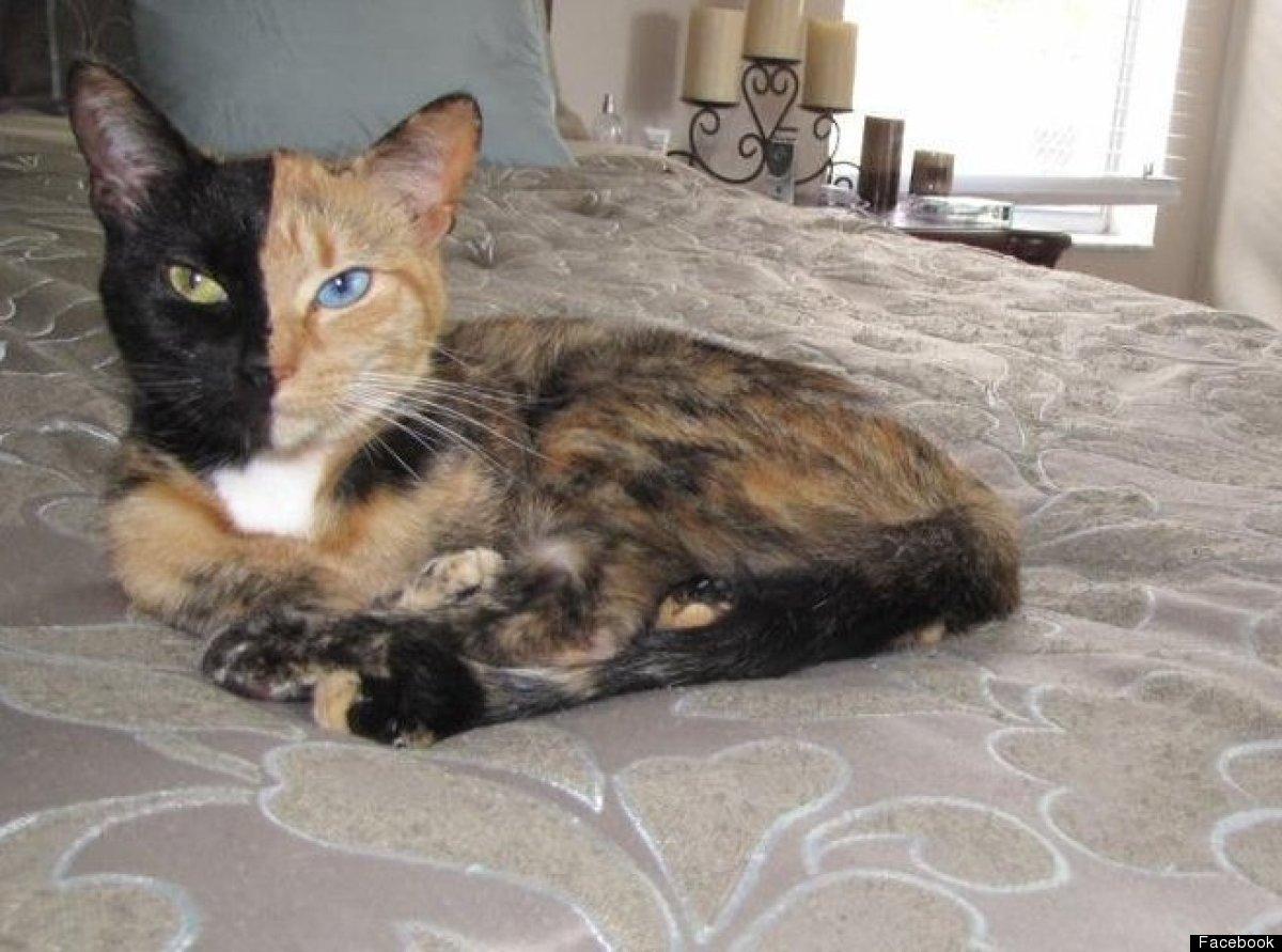 Двуликая кошка Венера фото