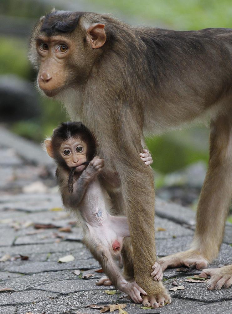 como es el pene de los monos
