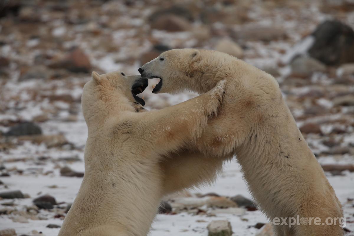 video polar bear swallows