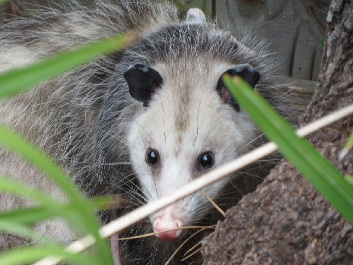 Opossum Marsupial