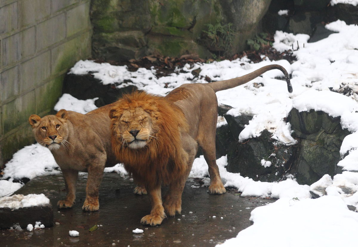 Hangzhou Zoo Visitors Throw Snowballs At Lions Photos