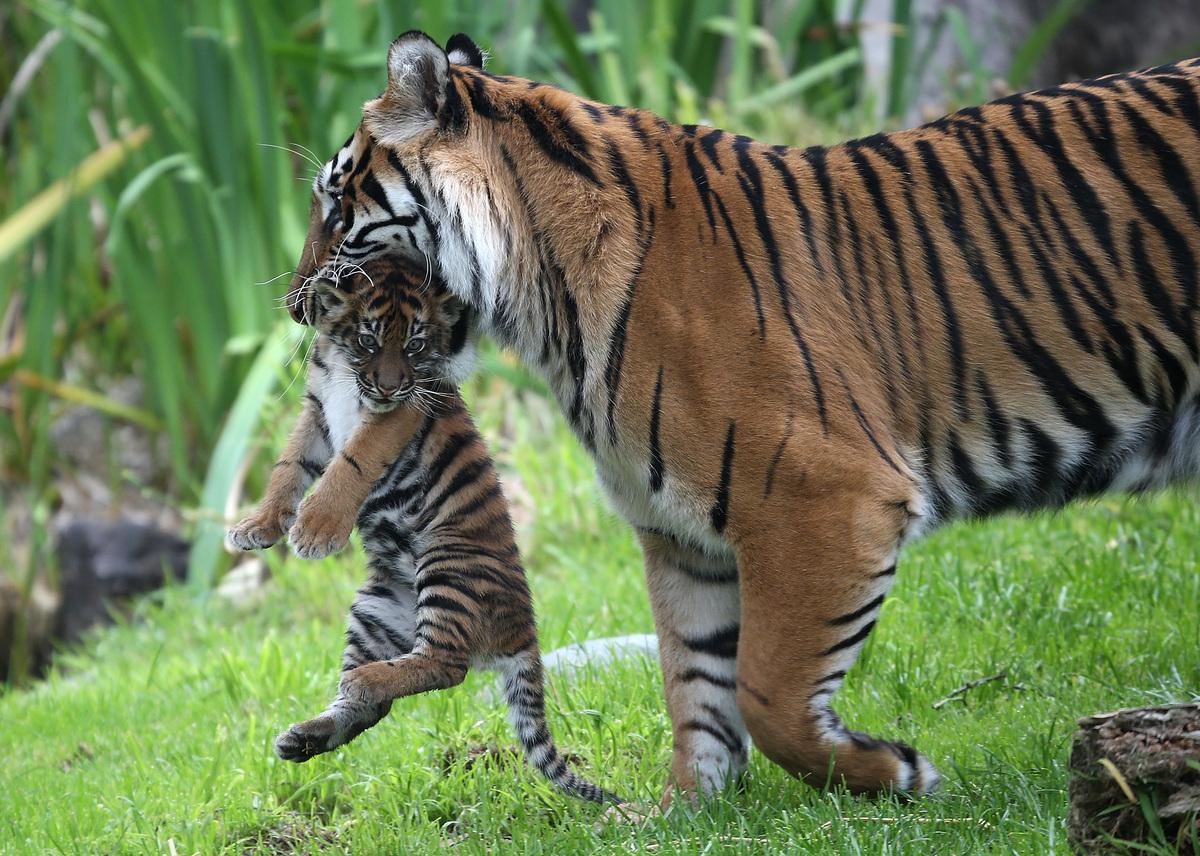 Tigers 90pet Click To Feed Actions Orangutans