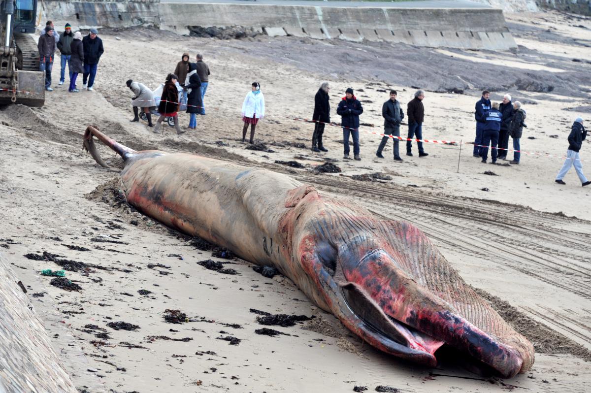 Une baleine de 18 m s'échoue aux Sables d'Olonne Slide_276836_2025517_free