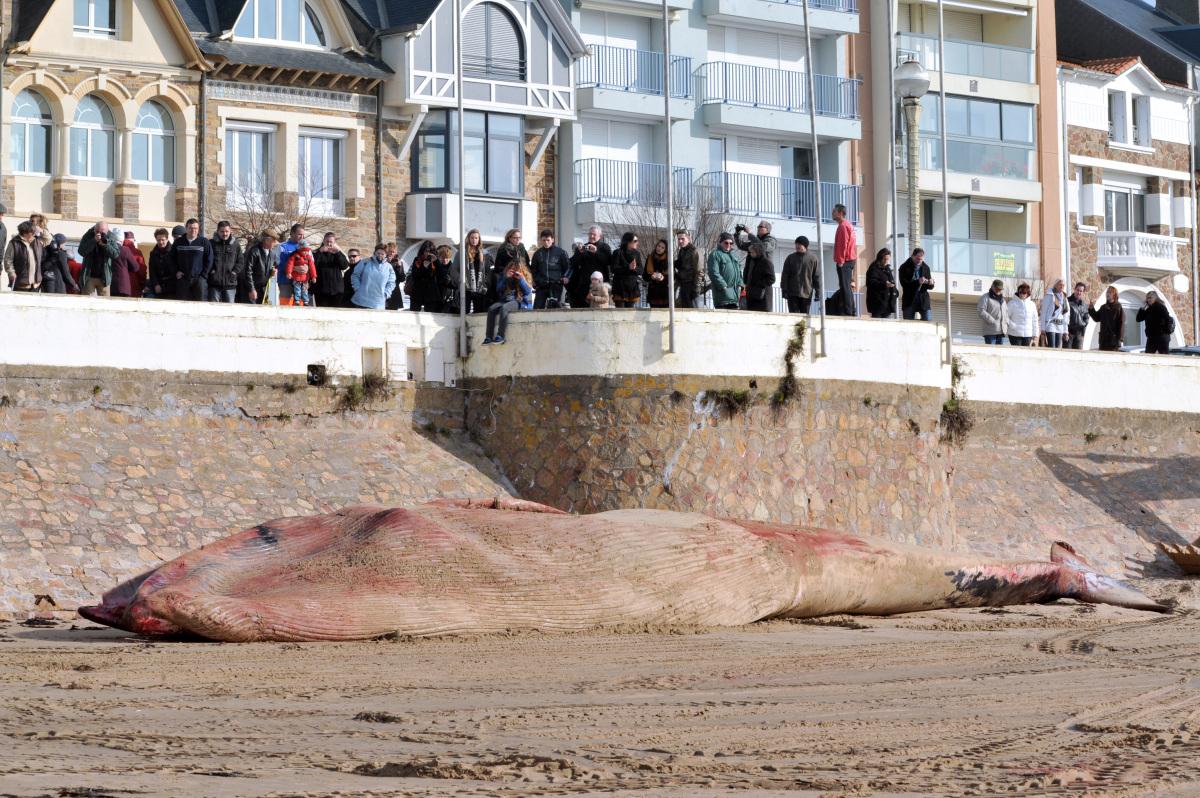 Une baleine de 18 m s'échoue aux Sables d'Olonne Slide_276836_2025528_free