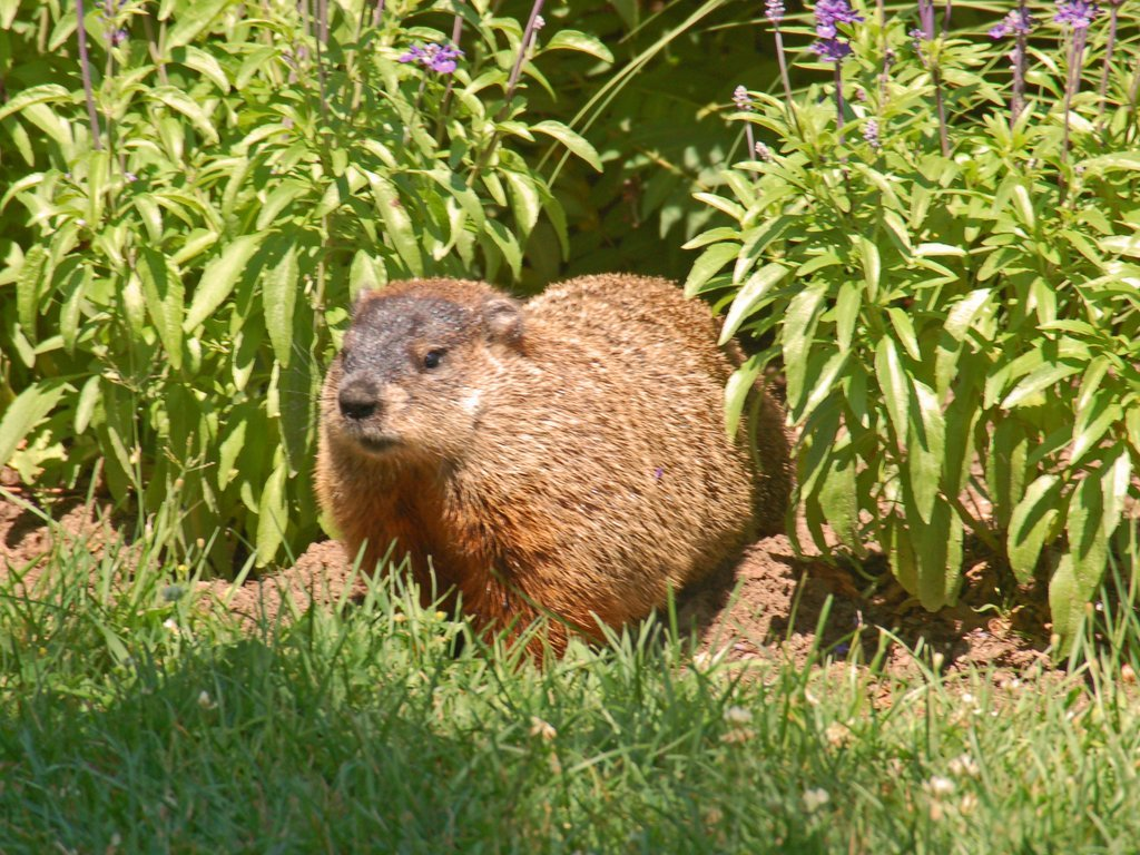 Groundhog Day 2013: Punxsutawney Phil Does Not See His