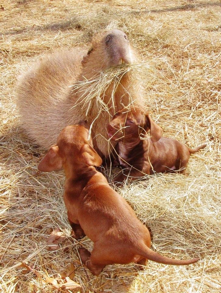 carpincho dando de comer a los cachorros
