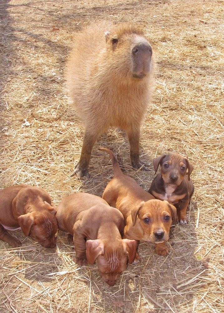 carpincho posando con los cachorros