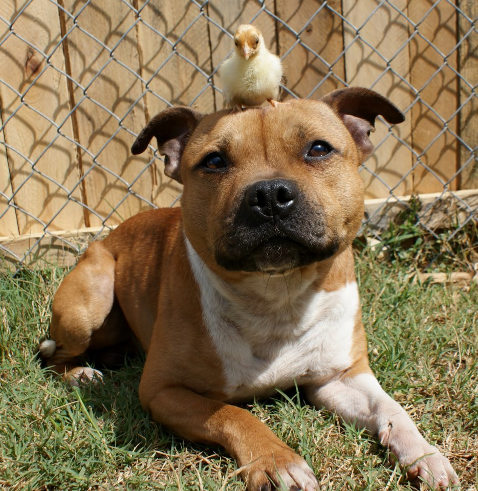 More Photos Of Boom, The Pit Bull With A Bird On His Head (Because ...
