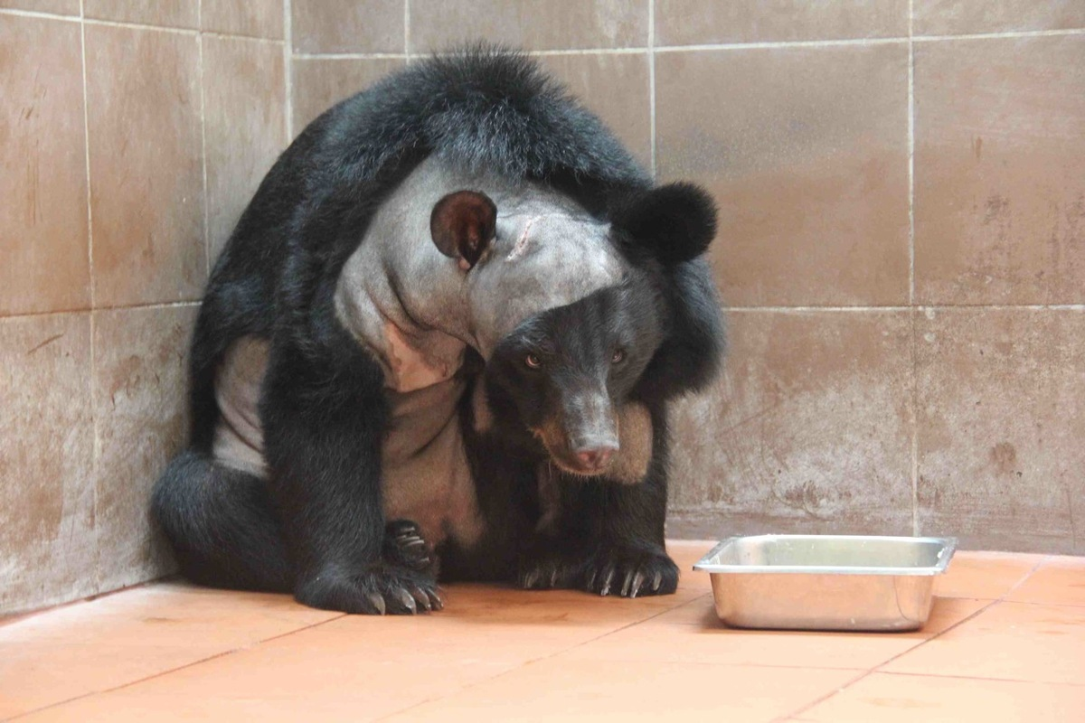 Bear Brain Surgery First Ever Cranial Procedure Performed