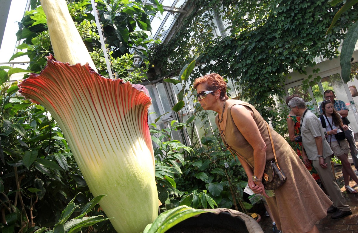 Corpse Flower The World s Stinkiest Plant Goes Display In D C At U