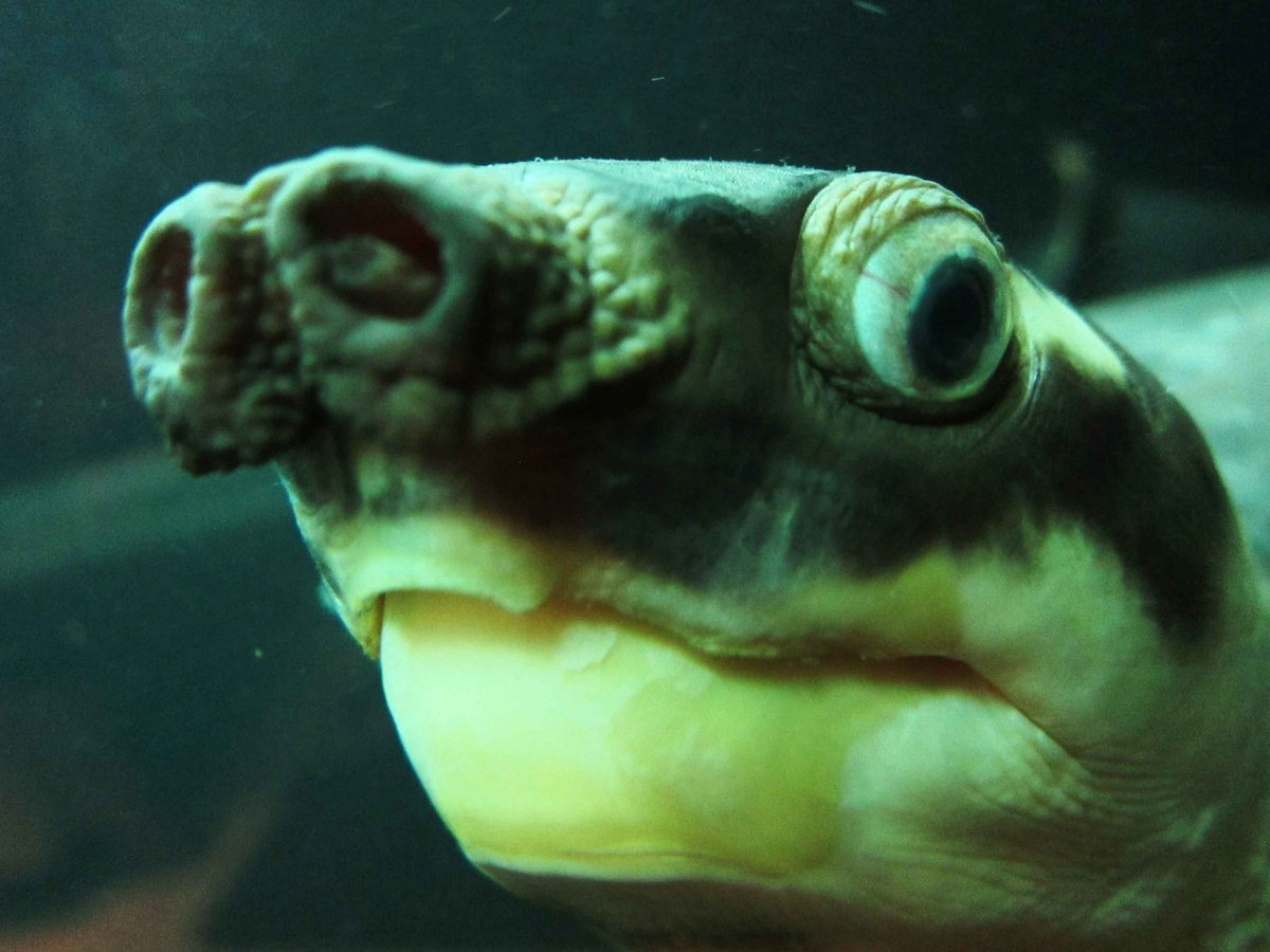 Ugliest Pig In The World Blobfish Officially Th...