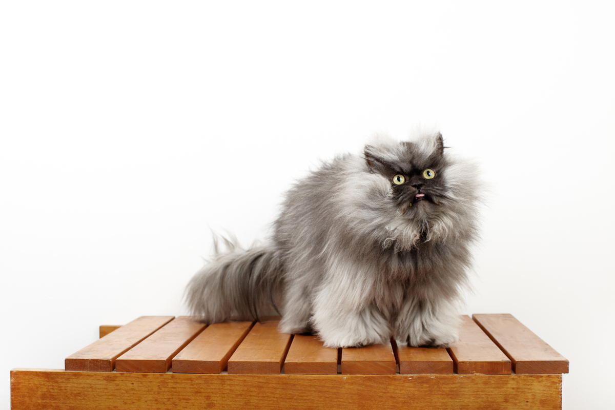colonel meow internet cat legend wins worlds hairiest cat a guinness world record photos video