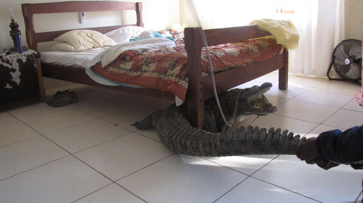 Guy whittall finds 8ft crocodile hiding under his bed in for Beds zimbabwe