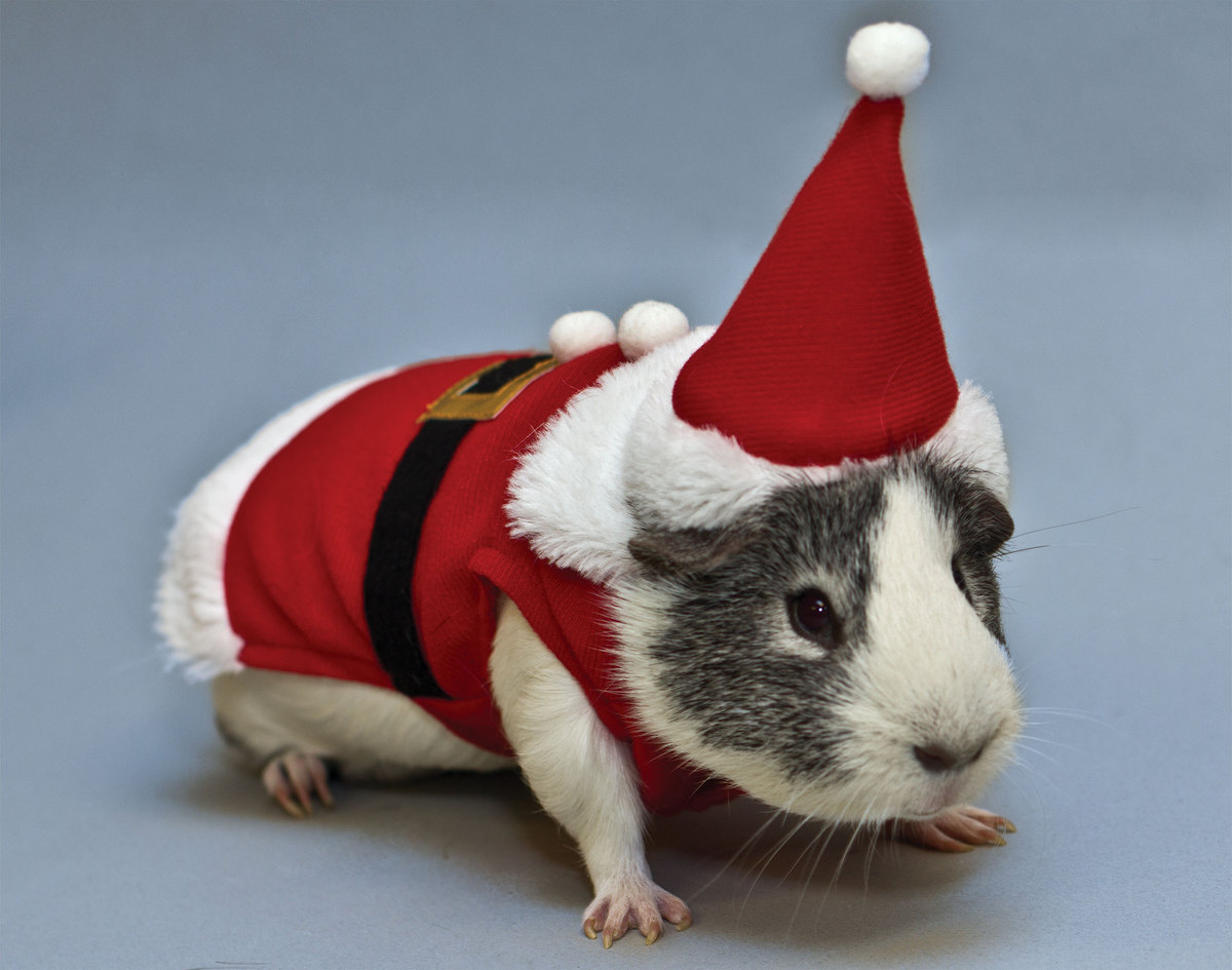 Weird holiday gift guide photos huffpost for Free guinea pig stuff