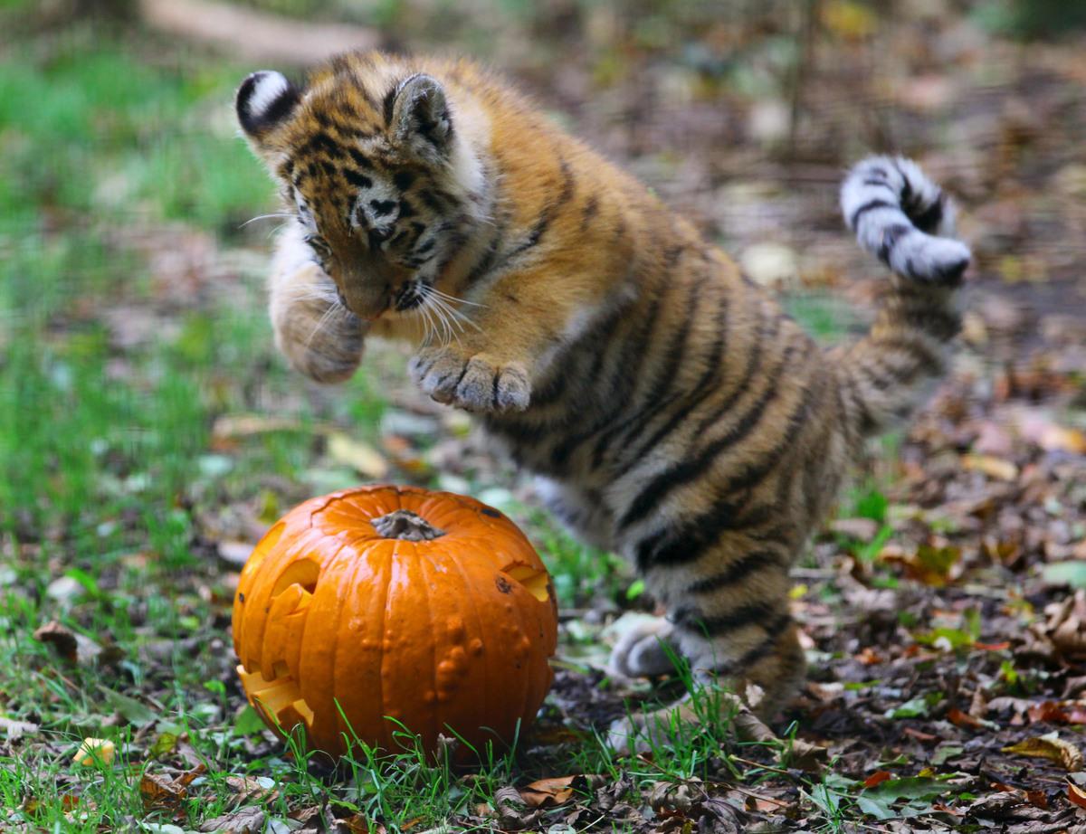 Teddy Bear, The Talking Porcupine, Eats A Pumpkin (VIDEO ... Cute Siberian Tiger Cubs