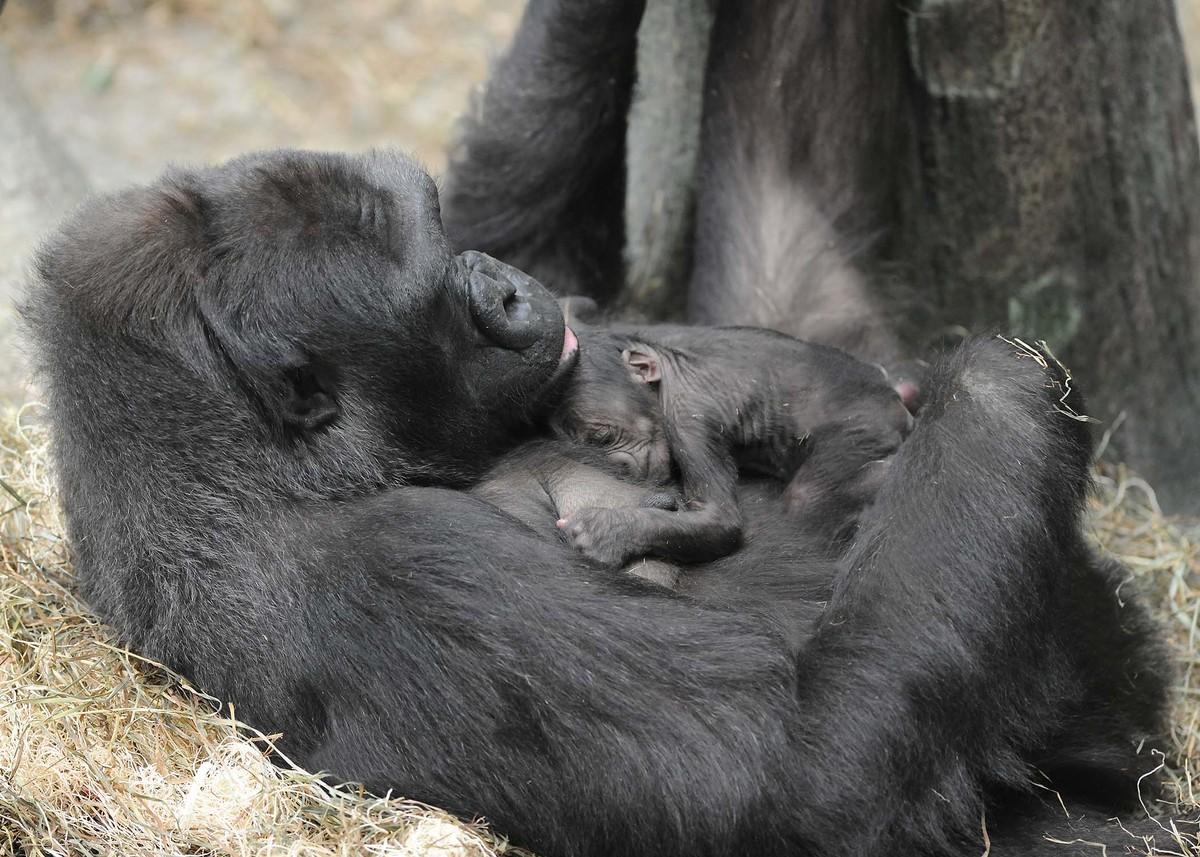 Секс бесплатно с гориллами 5 фотография