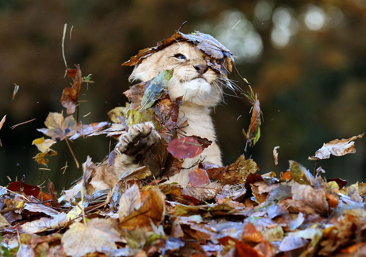 Уникальные кадры маленького львенка, который резвится в осенней листве!