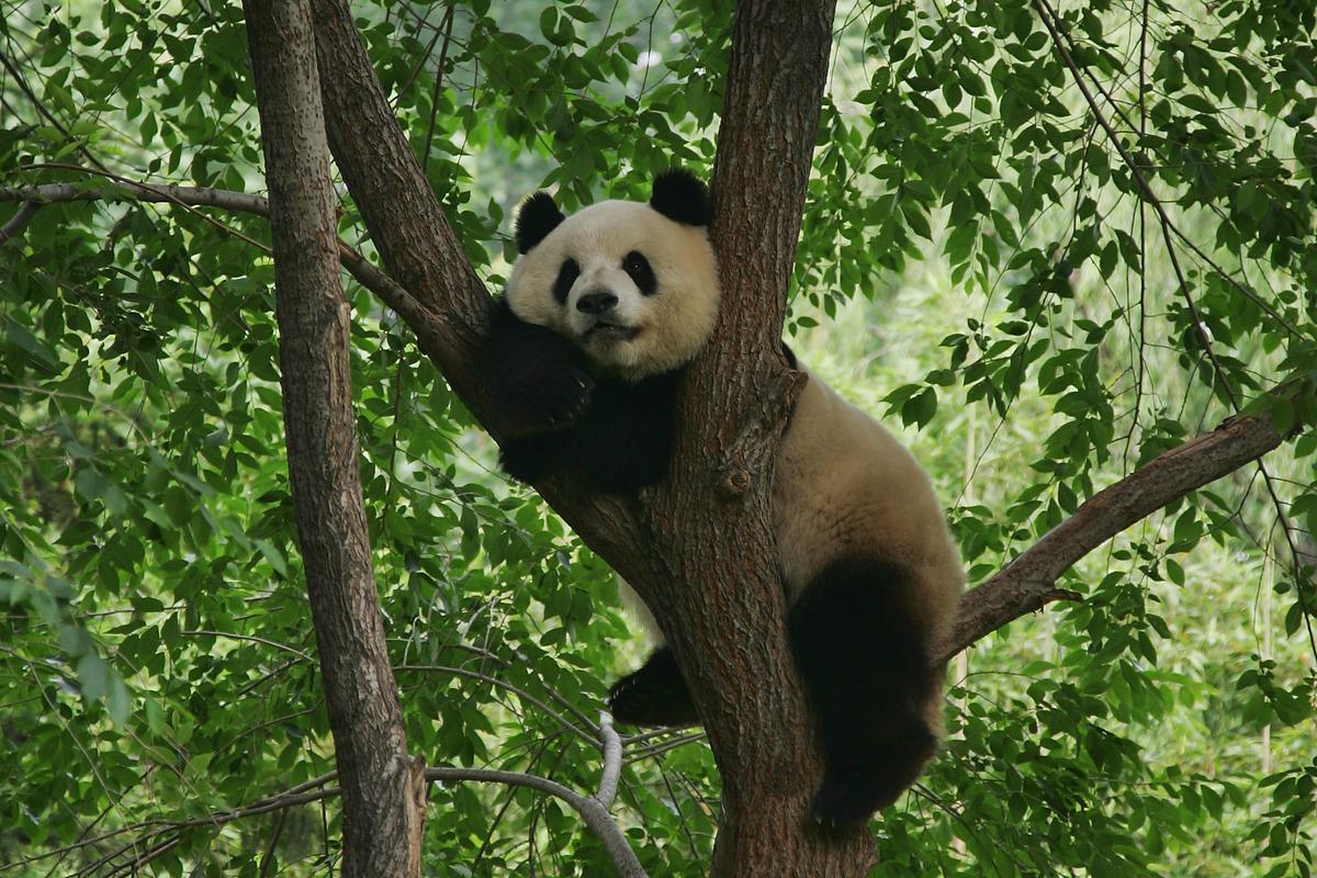wild und panda