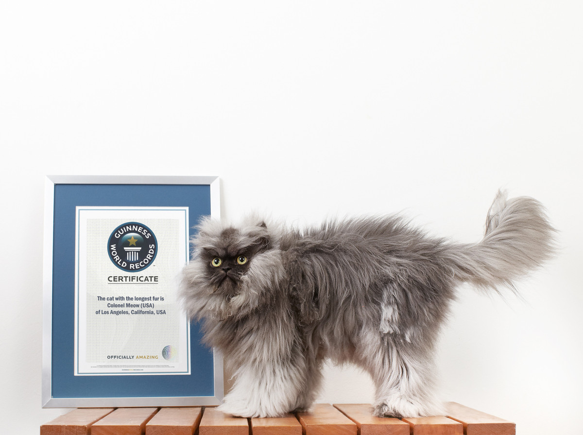 smallest cat in the world guinness 2015 the biggest fattest hairiest world records of