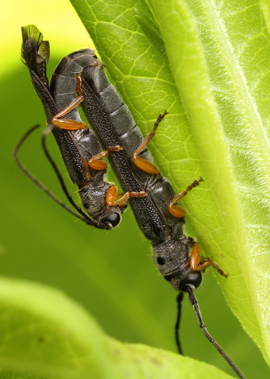 Bettle sex position