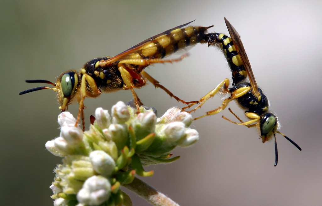 what is the wasp sexual reproduction worked second