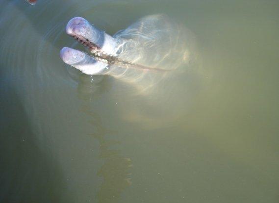 slide_334728_3357738_free Nuove scoperte: In Brasile una nuova specie di delfino
