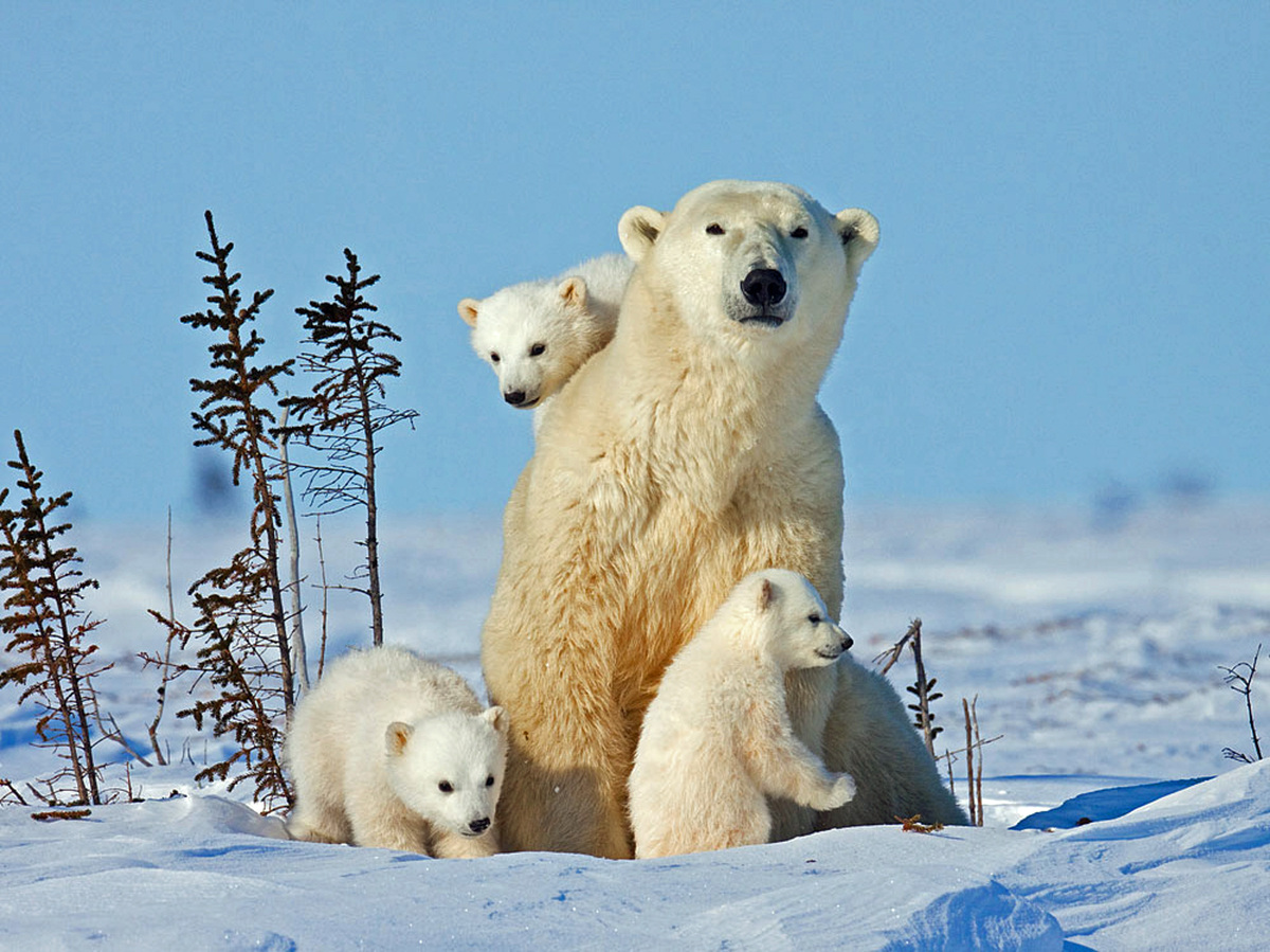 Baby animals photos baby animals ny daily news - Extremely Soft And Incredibly Cute Polar Bear Triplets Frolic In Canada Photos