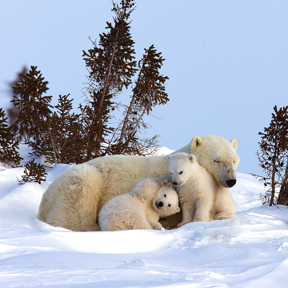 Extremely Soft And Incredibly Cute Polar Bear Triplets