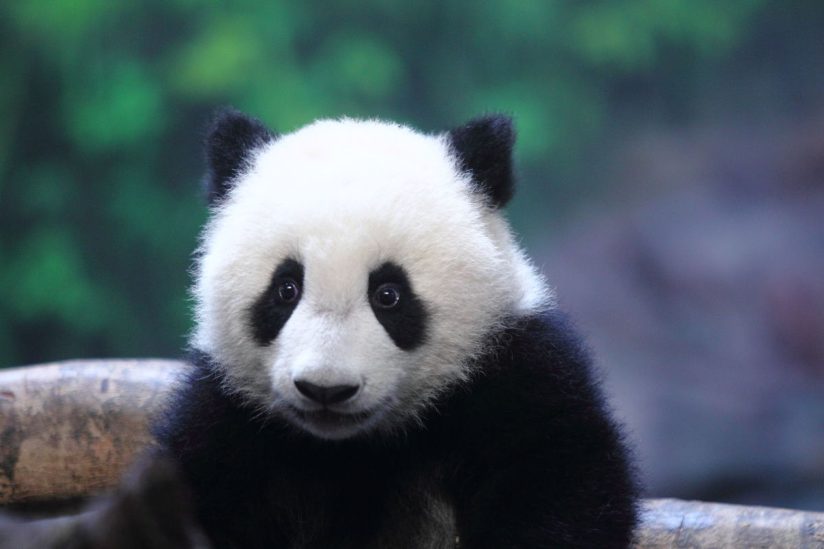 18 Amazingly Cute Pictures Of A Baby Panda Having Just ...