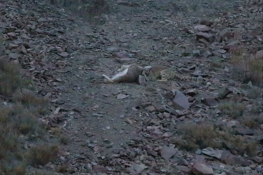 Snow leopard hunting prey - photo#13
